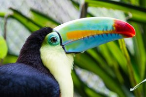 Keel billed toucan in a wildlife refuge in Costa Rica